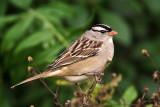 White-crowned Sparrow. Lake Park, Milw.