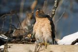 Cooper's Hawk. South Milwaukee, WI
