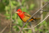 Summer Tanager, Lake Park, Milw.