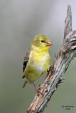 American Goldfinch, Kewaskum, WI