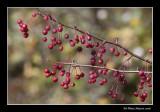 Cerisier de Pennsylvanie - Prunus pensylvanica