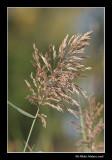 Roseau commun - Phragmites communis