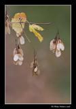 Érable à épis - Acer spicatum