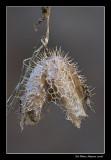 Concombre grimpant - Echinocystis lobata