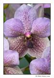 Orchidée / Orchid (Vanda sp.)