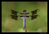 Libellula lydia - Common skimmer male (Libellule lydienne)