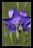 Platycodon à grandes fleurs