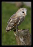 Effraie des clochers - Barn Owl
