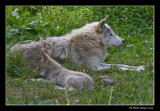 Loup gris - Gray Wolf