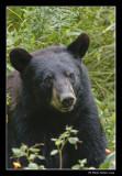 Ours noir - American Black Bear