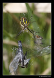 Argiope aurantia / Black and Yellow Garden Spider