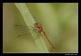 Sympétrum tardif / Yellow-legged Meadowhawk female (Sympetrum vicinum)