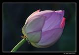 Lotus d'Orient / Lotus Flower (Nelumbo nucifera)