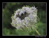 Carotte sauvage (fleur et fruits)