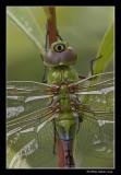 Anax précoce / Common green Darner female (Anax junius)