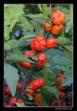 Aubergine ornementale/Pumpkin-on-a-stick