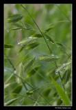 Graminée (Chasmanthium latifolium)