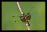 Libellula luctuosa - Widow skimmer female (Libellule mélancolique)
