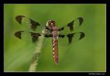 Libellula pulchella - Twelve-spotted skimmer female (Libellule gracieuse)