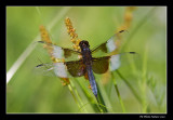 Libellula luctuosa - Widow skimmer male (Libellule mélancolique)