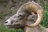 Mouflon d'Amérique