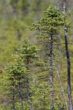 Épinette noire - Black Spruce