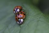 Coccinelle asiatique multicolore - Multicolored asian lady beetle