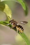 Anthidie à manchettes - Wool Carder Bee (Anthidium manicatum)
