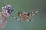 Épeire diadème - Garden spider (Araneus diadematus)