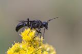 Grand sphex noir - Great Black Wasp (Sphex pennsylvanicus)