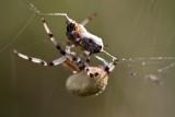 Araignée - Spider