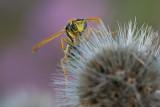 Guêpe poliste - European Paper Wasp (Polistes dominula)