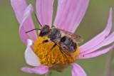 Abeille mégachile - Leaf Cutter Bee