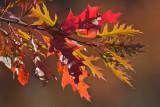 Chêne rouge - Red Oak