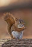 Écureuil roux - Red Squirrel