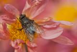 Mouche domestique - House fly