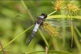 Libellule julienne / Chalk-fronted Corporal male (Ladona julia)