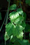 Blackberry leaves0959.jpg
