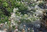 Like cotton lint, seeds of a native plant0965.jpg