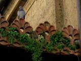 Pigeon watching 8609