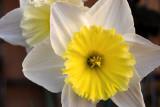 Daffodil DSC_0484