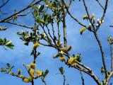 Willow tree with budsDSC_0511