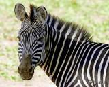 Mama Zebra