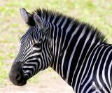 Daddy Zebra