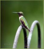Portrait of a Hummingbird