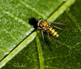 Itty Bitty Biting Fly
