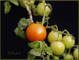 Last o f the Tomatoes 2009