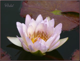 An October Water Lily