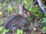 Wild Baby Bunny 2010