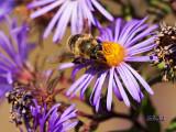 Last Bee of the Season
